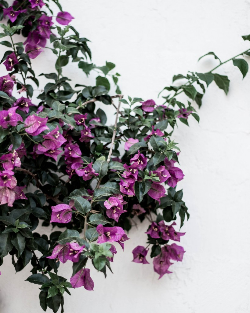 Bougainvillea everywhere